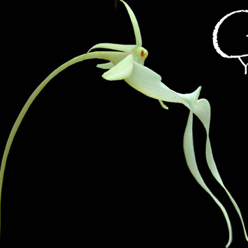 ghost-orchid-3